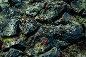 pic of crustations  - red crabs walking on rocks in san crisotbal galapagos selective focus - JPG