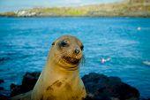picture of sea lion  - closeup portrait of sea lion - JPG