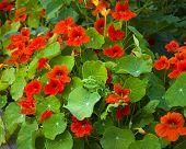 picture of nasturtium  - orange nasturtium flowers in the garden nature - JPG