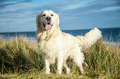 picture of staffordshire-terrier  - gundog - JPG