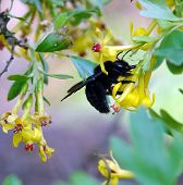 Постер, плакат: Carpenter Bee Xylocopa In The Nature