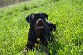 image of argo  - Wet rottweiler sitting on a green meadow  - JPG