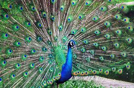 foto of female peacock  - Peacock displaying his feather to attract female - JPG
