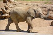 foto of mammal  - Elephants are large mammals of the family Elephantidae and the order Proboscidea - JPG