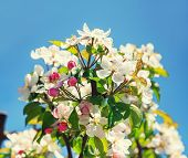 image of apple blossom  - A blooming branch of apple tree - JPG