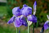 picture of purple iris  - Group of purple Iris flowers in a Spring garden - JPG