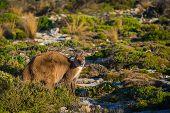 stock photo of kangaroo  - Kangaroo on Kangaroo Island - JPG