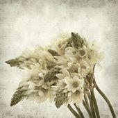 picture of bethlehem  - textured old paper background with start of bethlehem flowers - JPG
