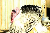 image of suspenders  - turkey with suspended red nose and big tail - JPG