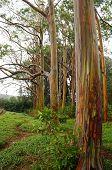 picture of eucalyptus trees  - Rainbow Eucalyptus Trees in rain - JPG