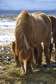 pic of horses eating  - Brown Icelandic horse eats grass in spring - JPG