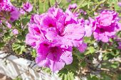 picture of geranium  - Geranium flowers Pelargonium spring time - JPG