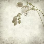 foto of bladder  - textured old paper background with Silene vulgaris or bladder campion - JPG
