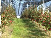 picture of apple orchard  - Apple orchard with red ripe apples on the trees - JPG