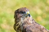 foto of buzzard  - Portrait of an buzzard with blurred green background - JPG