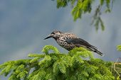 picture of nutcracker  - Nutcracker on the branch in natural environment
