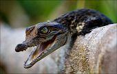 stock photo of crocodilian  - Cub of a crocodile - JPG
