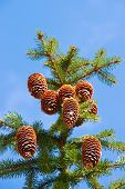 picture of view from space needle  - Macro view of pine tree with cones on sky background - JPG