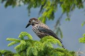 pic of nutcracker  - Nutcracker on the branch in natural environment