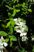 picture of jasmine  - Jasmine bush blooming in the sprig time garden - JPG