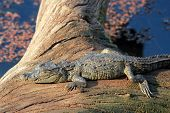 pic of sunbather  - Mugger Crocodile  - JPG