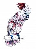 stock photo of cockatoos  - watercolor illustration of a parrot Cockatoo Moluccan - JPG
