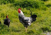 stock photo of roosters  - Rooster and Chickens - JPG