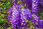 image of climber plant  - A Beautiful Flowering Wisteria Plant during Spring  - JPG