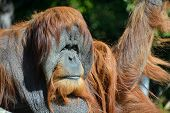 stock photo of rainforest animal  - The orangutans - JPG