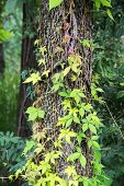 stock photo of virginia  - Virginia creeper vines growing up a large tree - JPG