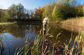 foto of cattail  - single cattail at the edge of a small pond - JPG
