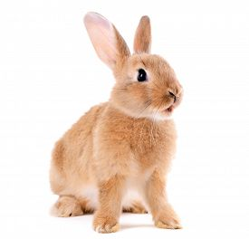 picture of furry animal  - Little rabbit isolated on white - JPG