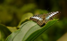 pic of south east asia  - The Clipper Parthenos sylvia is a species of nymphalid butterfly found in South and South-East Asia mostly in forested areas.