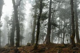 stock photo of epiphyte  - Damp foggy forest and trees covered with epiphytes - JPG