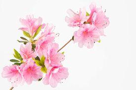 stock photo of azalea  - Light pink azalea flowers in clusters on shrub branch - JPG