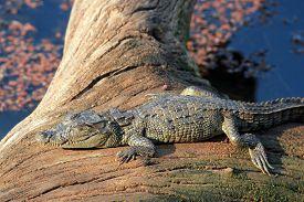 stock photo of crocodile  - Mugger Crocodile  - JPG