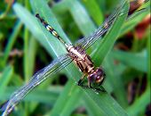 pic of mayfly  - macro  - JPG