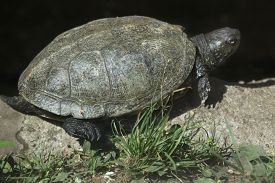 stock photo of terrapin turtle  - European pond turtle  - JPG