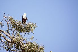 stock photo of fish-eagle  - One Fish Eagle Sitting in a Tree against a Blue Sky - JPG