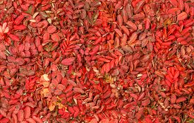 stock photo of wild-brier  - Bright autumnal carpet - JPG