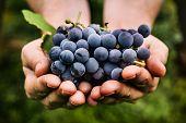 Постер, плакат: Grapes Harvest
