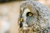 Постер, плакат: The great grey owl or great gray owl