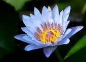 stock photo of water lilies  - close up of a blue water lily - JPG