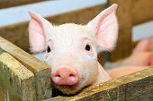 stock photo of baby animal  - Small and funny pink piglet in pen - JPG