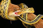 Постер, плакат: Тайвань Красавица змея