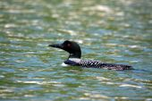 stock photo of loon  - common loon floating along in a canadian lake - JPG