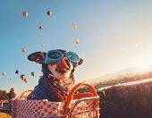 an adorable chihuahua in a bicycle basket at a hot air balloon launch festival at sunrise licking hi poster