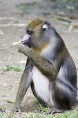 Female Mandrill