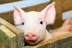 pic of baby animal  - Small and funny pink piglet in pen - JPG