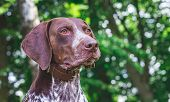 Portrait  Close-up Of Dog Breed German Shorthaired Pointer Against Green Trees In The Woods poster